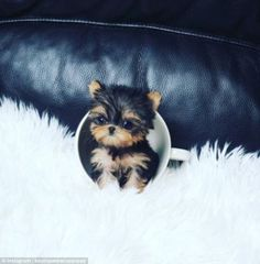 Too cute to handle: This tiny Yorkshire teacup pup pictured looking cute inside a teacup