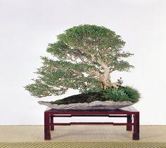 Murraya paniculata Murraya Paniculata, Bonsai Art, Bonsai Trees, Indoor Bonsai, Tropical, Landscape, Taiwan, Beautiful, Garden Ideas