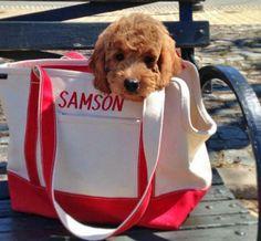 Samson the Goldendoodle