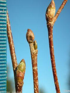 betulaceae pendula youngii branch - Google Search