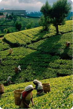 tea plantation (Sri Lanka)