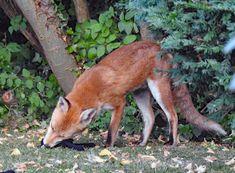 Animal Kingdom, Foxes, Animals, Animales, Animaux, Animal, Fox, Animais