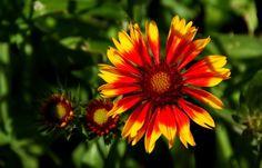 Heute knallt die Sonne wieder mit Macht ...  auf uns hernieder. Also ausreichend Wasser trinken, nicht anstrengen und wenn möglich im Schatten aufhalten. Auch dort kann man der sonne zuschauen. Nicht nur in meinem Garten. :-) http://de.wikipedia.org/wiki/Kokardenblumen