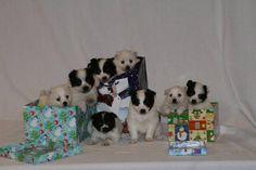 Pomeranian + Husky = Pomsky Puppies!!!