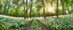 Cesta v bielom poly pod Veterlínom ach kolko medvedieho cesnaku nádhera
