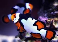 Picasso clownfish! I want one so bad. :)