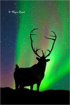 A Caribou admiring the Northern Lights