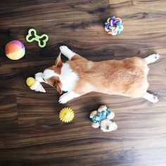 Milo The Corgi @babymilothecorgi Instagram photos | Websta