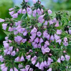 Lungwort Roy Davidson, Pulmonaria longifolia Roy Davidson - Spring Perennials from American Meadows