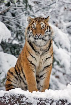 beauty by Daniel Münger on ~ Gorgeous Amur Tiger, commonly called a Siberian Tiger. There are fewer than 450 of these tigers in the wild ~ Big Cats, Cool Cats, Cats And Kittens, Nature Animals, Animals And Pets, Cute Animals, Wild Animals, Baby Animals, Beautiful Cats