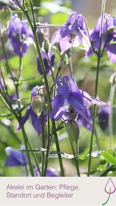 Wie sich die Akelei im Garten wohl fühlt und welche Blumen zu ihr passen