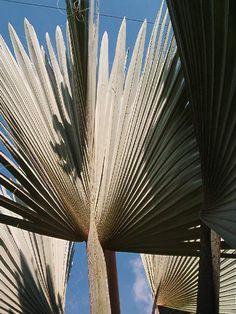 Bismarckia nobilis Hildebrandt & H. Wendl.-palmas fantásticas- Medellín-Colombia
