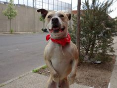 TO BE DESTROYED 5/11/14Brooklyn Center My name is JOSH. My Animal ID # is A0998866.I am a male tan and white pit bull mix. The shelter thinks I am about 3 YEARS old.I came in the shelter as a STRAY on 05/06/2014 from NY 11208, owner surrender reason stated was STRAY. MOST RECENT MEDICAL INFORMATION AND WEIGHT05/07/2014 Exam Type RE-EXAM - Medical Rating is 1 - NORMAL , Behavior Rating is NONE, Weight 50.4 LBS.VET CHECK FOR COUGHING BAR. NO COUGHING OR NASAL DISCHARGE. EXCELLENT APPETITE…
