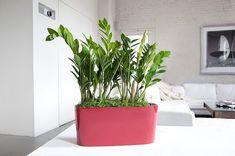 die besten 25 zee zee plant ideen auf pinterest zimmerpflanzen zimmerpflanzen wenig licht. Black Bedroom Furniture Sets. Home Design Ideas
