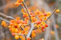 This is a guide about growing bittersweet. Bittersweet is an easy to grow vine known for its beautiful fall color.