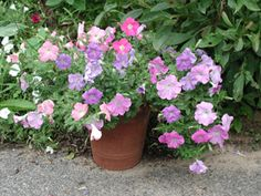"Patunias grooming.    ""You can also root the ends of the stems you clip off - cut them to 8"" long and put them in fresh, damp potting soil after coating the stems with rooting hormone.  Keep the pots out of direct sun but in a light place, and keep soil moist.  Your cuttings should root in two or three weeks.  After they start to grow, pinch the tip off to make it branch out, plant or pot it up and begin to fertilize regularly."""
