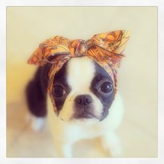 ♥ Boston Terriers                                                                                                                                                                                 More