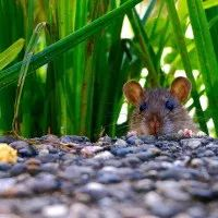 It's estimated that the United Kingdom has about million rats in its urban areas. If the rats decided to spread out as widely as possible, there would be one rat every square meters in London. Natural Rat Repellent, Mice Repellent, Rat Droppings, Getting Rid Of Rats, Buddha Kopf, Farm Hacks, Les Rats, Rat Traps, Mouse Traps