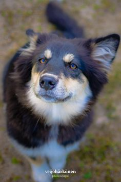 """The Curious Dog - """"What do you have for me? A delicious snack? Fountain, Husky, Dogs, Animals, Animales, Animaux, Doggies, Water Fountains, Animais"""