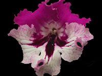 Streptocarpus - Jana