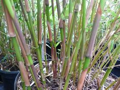 Fargesia robusta scabrida 'Asian Wonder' - New stems(culms)are a deep purple - great when interspersed w/ older growth.A new intro. from China - this is the bamboo of the Giant Panda. - meters,spread - 1 meter,hardy to C,sun(!) or shade. Fargesia Robusta, Bamboo Screening, Bamboo Plants, Stems, Deep Purple, Panda, Landscaping, China, Sun