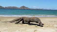 Komodo Dragons can grow to a size of up to 10 feet long and weigh around 150 pounds.