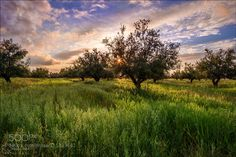 Olive trees by Magic_Med. Please Like http://fb.me/go4photos and Follow @go4fotos Thank You. :-)