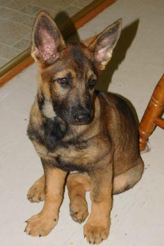 Sierra, my 3-month German Shepherd puppy