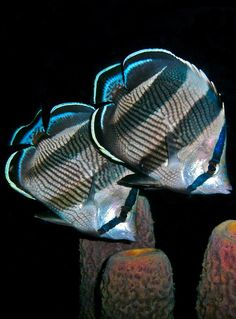 The banded butterflyfish (Chaetodon striatus) is found in the western Atlantic Ocean from Brazil to Bermuda. by Nina Banks Underwater Creatures, Underwater Life, Ocean Creatures, Beautiful Sea Creatures, Life Under The Sea, Beneath The Sea, Salt Water Fish, Water Animals, Beautiful Fish