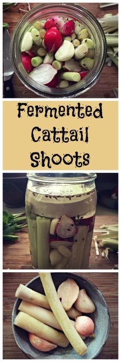 Fermented Cattail Shoots~ with radishes and garlic. Time to start foraging and fermenting! www.growforagecookferment.com