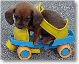 Yikes.....I love dachshunds but I broke my arm roller skating on one of those skates!