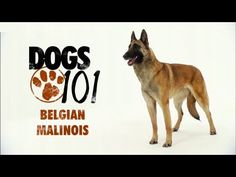 Dear future owner…. Belgian Malinois and Posts