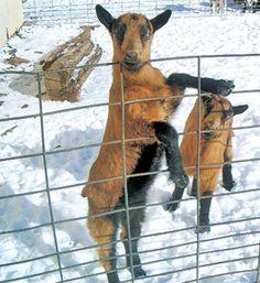 Selecting a dairy goat, by Gail Damerow. Raising Farm Animals, Raising Goats, Keeping Goats, Female Goat, Cute Goats, Goat Farming, Baby Goats, Goat Milk Soap, Farm Life