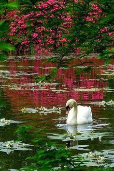 Swan: Sheffield Park, Sussex, England.