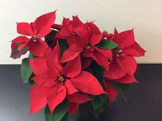Weihnachtliche Pflanzen