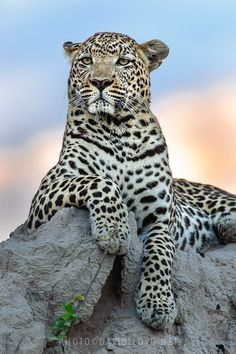 ~~The Magician ~ majestic leopard atop a termite mound by David Lloyd~~