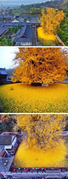An Ancient Chinese Gingko Tree Drops an Ocean of Golden Leaves