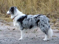 border collie!! i want one sooo bad!! but i want one that is blue, black, grey, and tan!!
