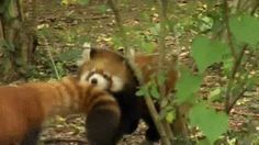 This prankster. | The 28 Best Red Panda GIFs Of All Time