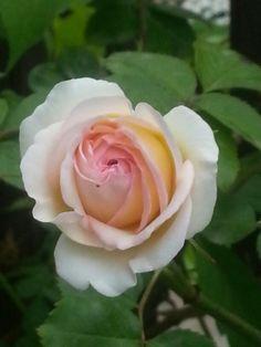 My rose #rose