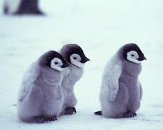 Every one of them is named Waddles, in case you were wondering... #penguins