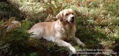 Imagen de un perro Golden Retriever descansando después de correr por el bosque. Raza de perro (Image of a Golden Retriever dog resting after running through the woods. Breed of dog)