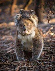 a ride on Mums back ! Cute Baby Animals, Animals And Pets, Funny Animals, Beautiful Creatures, Animals Beautiful, Wale, Australian Animals, Tier Fotos, Animal Photography