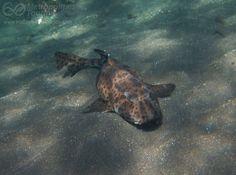 Galapagos bullhead shark - http://www.happyingalapagos.com/galapagos-bullhead-shark/