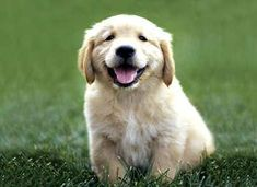 No doubt, Golden Retrievers are the best dogs in the world <3