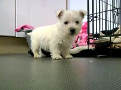 White Puppies, White Dogs, Old English Sheepdog, West Highland White, West Highland Terrier, White Terrier, Cairns, Terrier Dogs, Westies