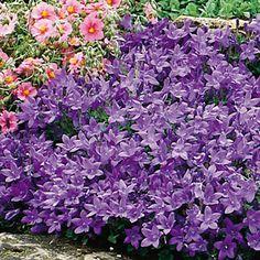 Bellflower -perennial sun to part shade