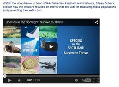 """Species in the Spotlight: Survive to Thrive / The eight """"Species in the Spotlight"""" are:  * Atlantic Salmon Gulf of Maine Distinct Population Segment (DPS) * Central California Coast Coho Evolutionarily Significant Unit (ESU) * Cook Inlet Beluga Whale (DPS) * Hawaiian Monk Seal * Pacific Leatherback Sea Turtle * Sacramento River Winter-run Chinook (ESU) * Southern Resident Killer Whale (DPS) * White Abalone"""