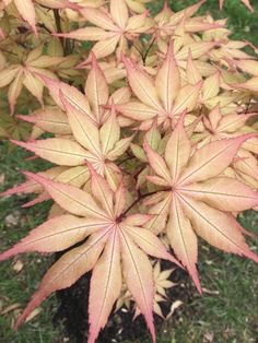 Catalog Landscape Design, Garden Design, Trees Online, Acer Palmatum, Maple Tree, Japanese Maple, Variegated Plants, Root System, Bonsai Garden