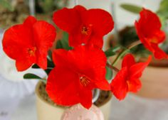 Cattleya coccinea 'Wakko'